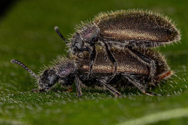 Volwassen boktorren van de soort lagria villosa koppeling