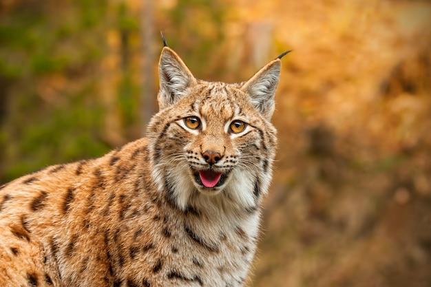 Volwassen euraziatische lynx in natuurlijke omgeving