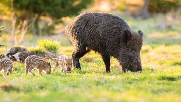 Volwassen everzwijn met biggen die in het voorjaar op gras grazen