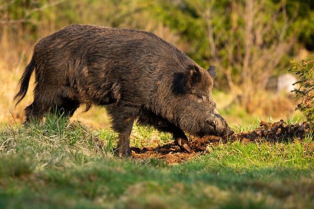 Volwassen everzwijn met vuile vacht gravende grond met snuit op weide in de zomer