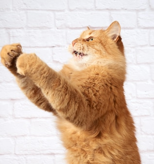 Volwassen gemberkat springt en heft zijn poot tegen een witte bakstenen muur