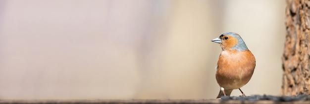 Volwassen gewone vink zitstokken op dunne tak