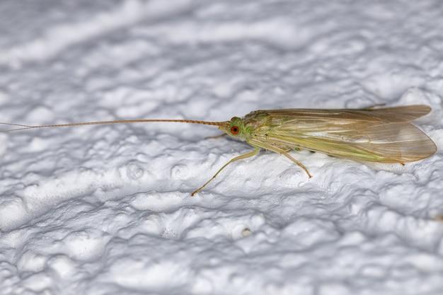 Volwassen groene caddisfly van het geslacht leptonema
