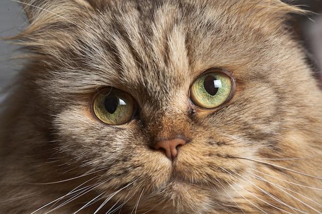 Volwassen grote kattenclose-up met groene ogen.
