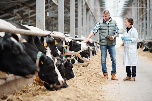 Volwassen hoofd van grote melkveebedrijf met touchpad die een van de koeien aanraakt tijdens overleg met de dierenarts door de stal
