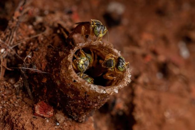Volwassen jatai bijen van de soort tetragonisca angustula in macro weergave