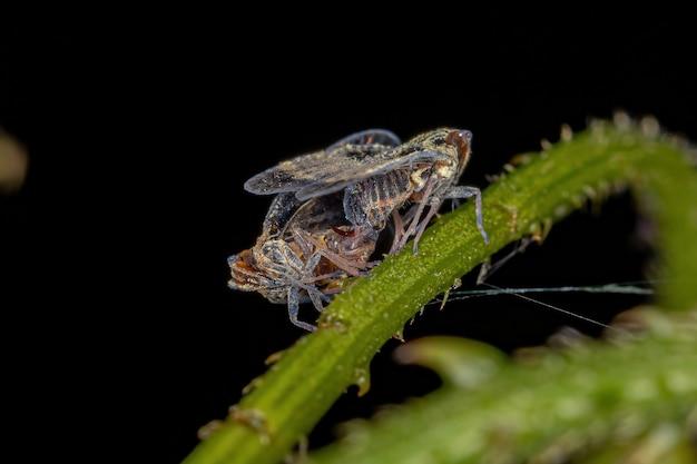 Volwassen kleine sprinkhanen van de familie cixiidae copulerend