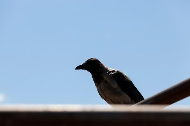 Volwassen kraai zit op een hek tegen de blauwe hemel, silhouet van een zwarte vogel Premium Foto