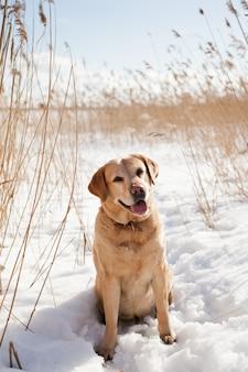 Volwassen labrador retriever hond wandelen op een zonnige winterdag onder droog riet in de sneeuw