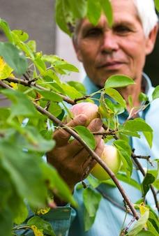 Volwassen man appels plukken in boomgaard. persoon staat op een ladder in de buurt van boom en het bereiken van een appel.