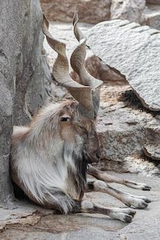 Volwassen mannelijke markhor, (capra falconeri), zittend ontspannen op rotsachtige ondergrond