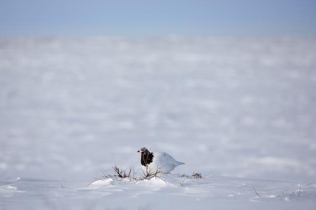 Volwassen mannelijke rots sneeuwhoen, lagopus mutus, die zijn territorium onderzoekt terwijl hij in de sneeuw zit