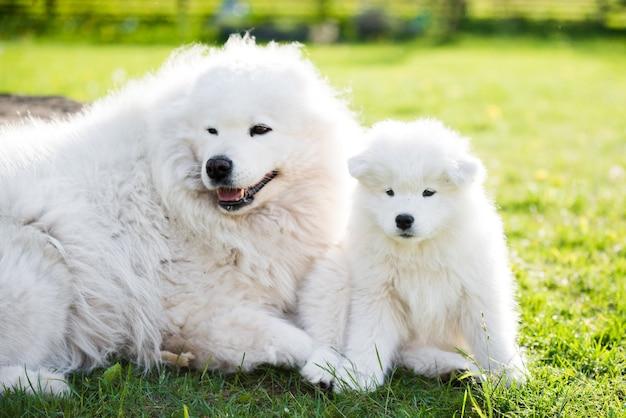 Volwassen mannelijke samojeed-hond met puppy's lopen op gras