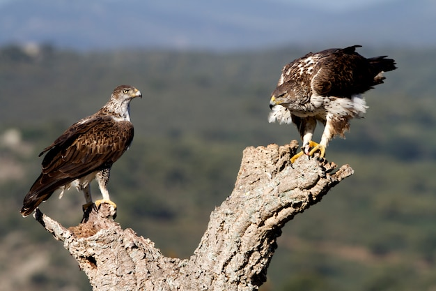 Volwassen mannetje en vrouwtje van bonelli's adelaar
