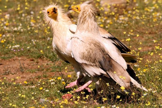 Volwassen mannetje en vrouwtje van egyptische gier