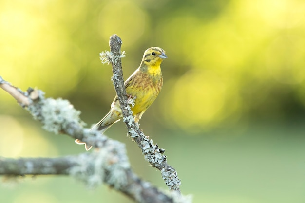 Volwassen mannetje geelgors met de laatste avondlichten op haar favoriete zitstok