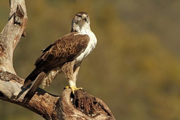 Volwassen mannetje van bonelli's adelaar, adelaars, vogels