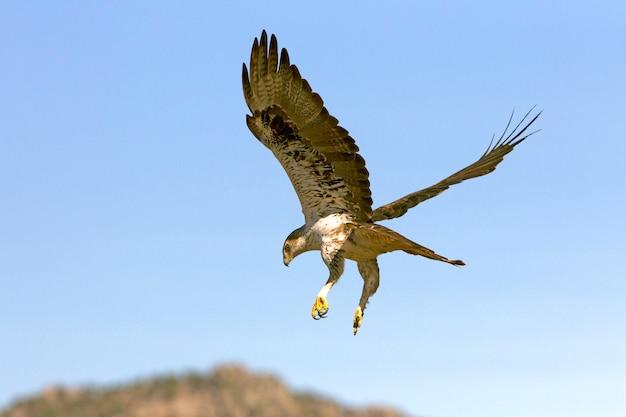 Volwassen mannetje van bonelli's eagle vliegen