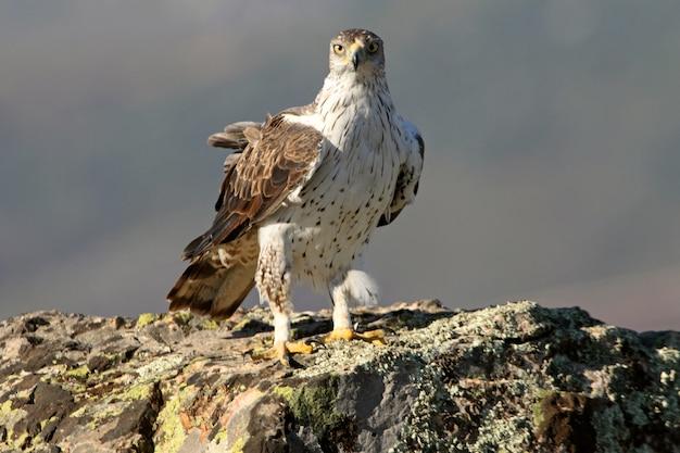 Volwassen mannetje van bonelli's eagle,