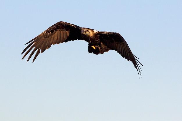 Volwassen mannetje van het spaanse keizerarend vliegen