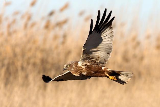 Volwassen mannetje van westerse bruine kiekendief die met de laatste lichten van de middag vliegt