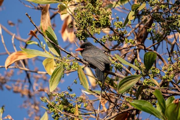 Volwassen mantelnonvogel van de soort monasa nigrifrons