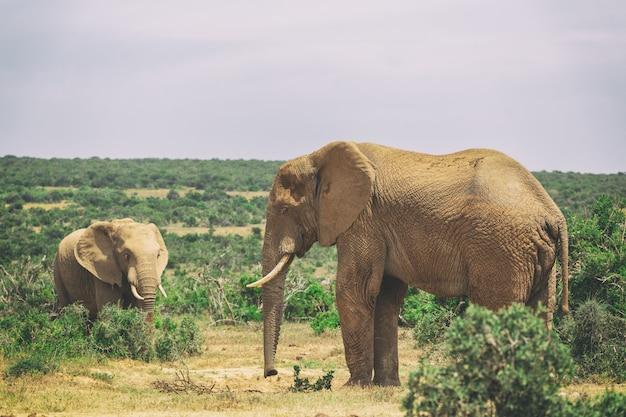 Volwassen olifant en babyolifant die samen in addo national park, zuid-afrika lopen