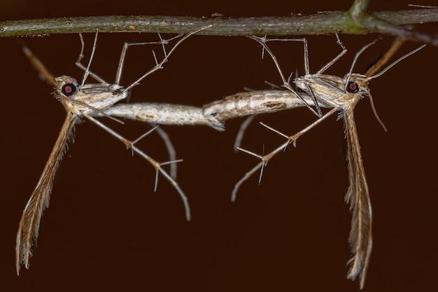 Volwassen pluimmot van de familie pterophoridae koppeling