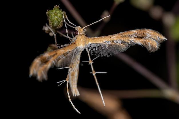 Volwassen pluimmot van de familie pterophoridae