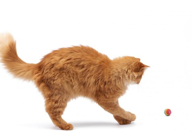 Volwassen pluizige rode kattenspelen met een rode bal, leuk geïsoleerd dier
