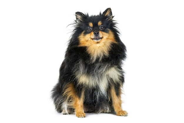 Volwassen pommeren puppy spitz, geïsoleerd. leuke pommeren zwart-bruine kleur
