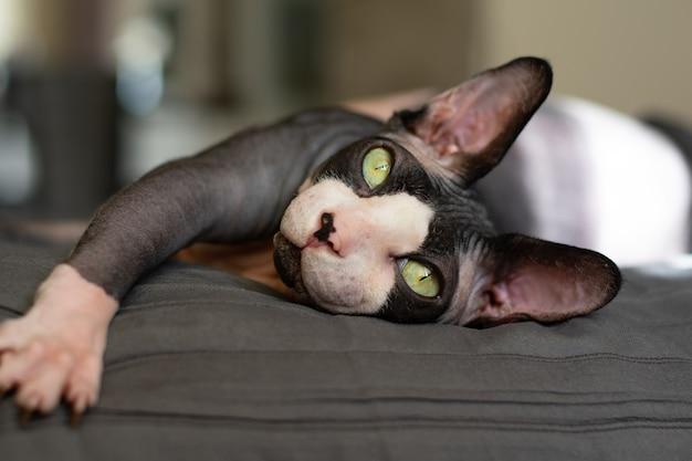 Volwassen raszuivere kat canadese sphynx ligt op het bed