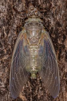 Volwassen reuzencicade van de soort quesada gigas in proces van vervelling waarbij de cicade evolueert naar het volwassen stadium en het oude exoskelet verlaat dat nu exuvia wordt genoemd, een proces van metamorfose