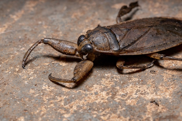 Volwassen reuzenwants van het geslacht lethocerus