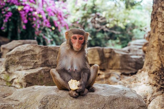 Volwassen rode de resusaap die van de gezichtsaap in tropisch aardpark eten van hainan, china. brutale aap in het natuurlijke bosgebied. wildlife scène met gevaar dier. macaca mulatta copyspace