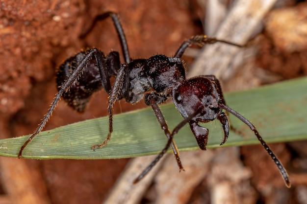 Volwassen rode ectatommine mier van het geslacht ectatomma
