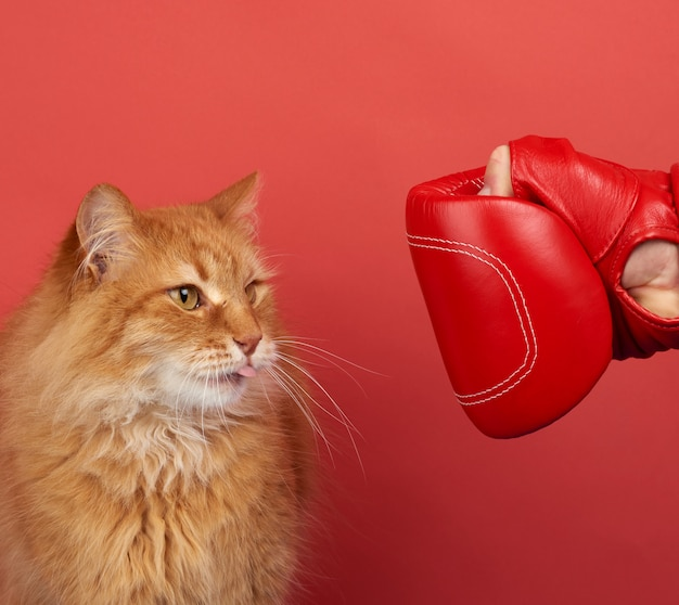 Volwassen rode kattengevechten met een rode bokshandschoen