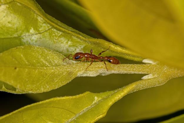 Volwassen rode twijgmier van het geslacht pseudomyrmex