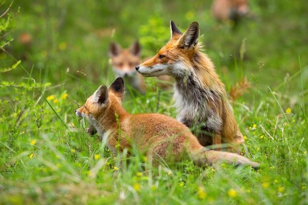 Volwassen rode vos op de open plek met geeuwen welp en andere welpen