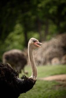 Volwassen struisvogels in natuurgebieden