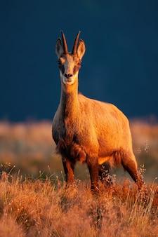 Volwassen tatra gemzen op zoek naar de camera in zonsondergang.