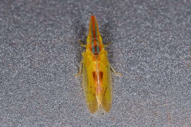 Volwassen typische leafhopper van het geslacht krocolidia