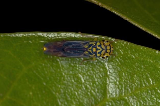 Volwassen typische sprinkhaan van de soort dilobopterus costalimai