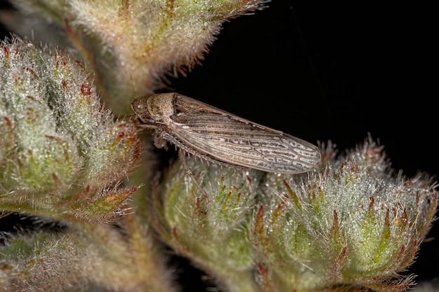 Volwassen typische sprinkhaan van de soort sordana sordida