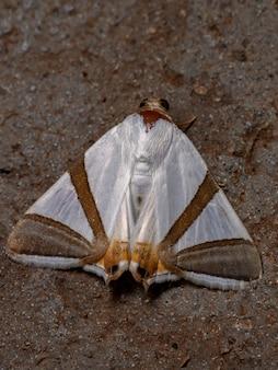 Volwassen vlindermot van de soort eulepidotis rectimargo
