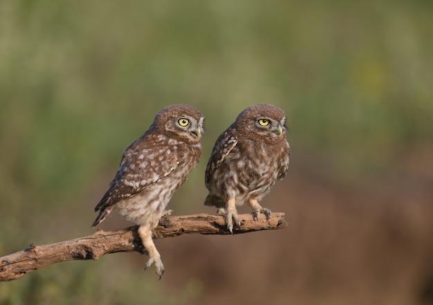 Volwassen vogels en steenuilkuikens (athene noctua) worden van dichtbij gefotografeerd op een onscherpe achtergrond.