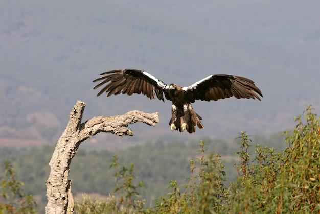 Volwassen vrouwelijke spaanse keizerarend vliegt bij het eerste daglicht in een mediterraan dennen- en eikenbos