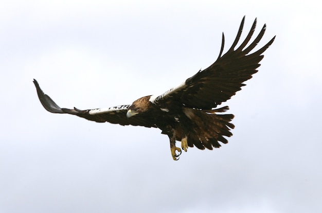Volwassen vrouwelijke spaanse keizerlijke vliegen bij het eerste daglicht