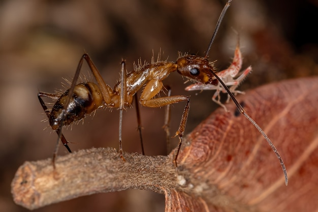 Volwassen vrouwelijke timmermansmier van het geslacht camponotus