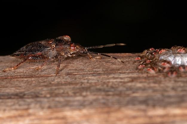 Volwassen vrouwtje stinkwants van het geslacht antiteuchus die eieren beschermt met selectieve aandacht